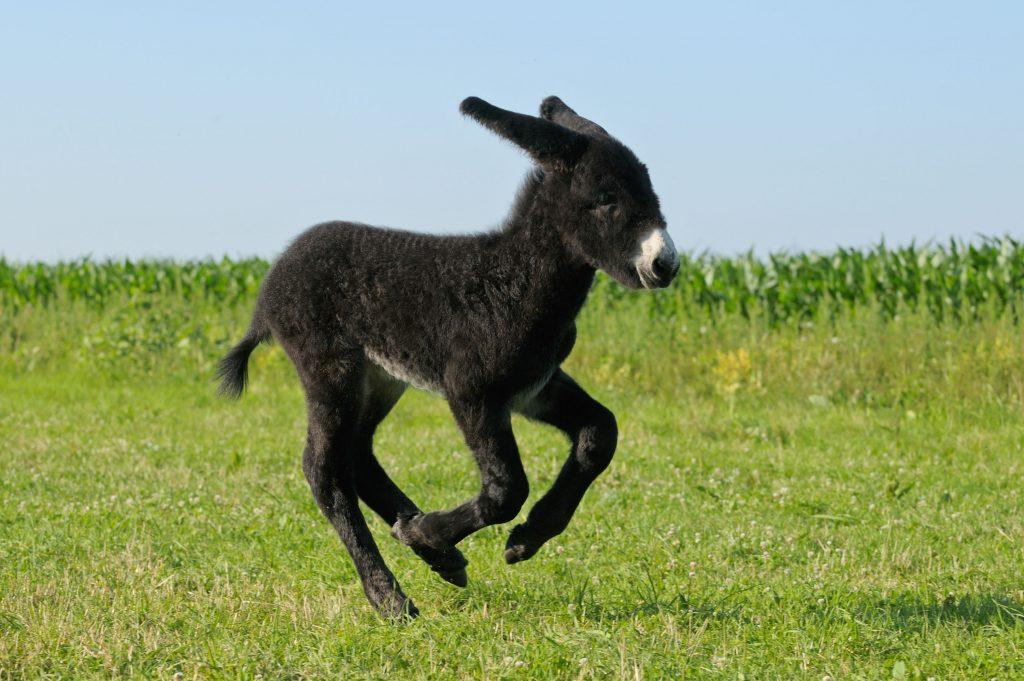 2 Wochen altes Poitou-Esel Fohlen | Two weeks old Poitou donkey foal